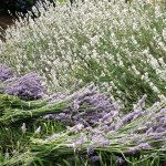 Welcome to The Buzz! About Lavender